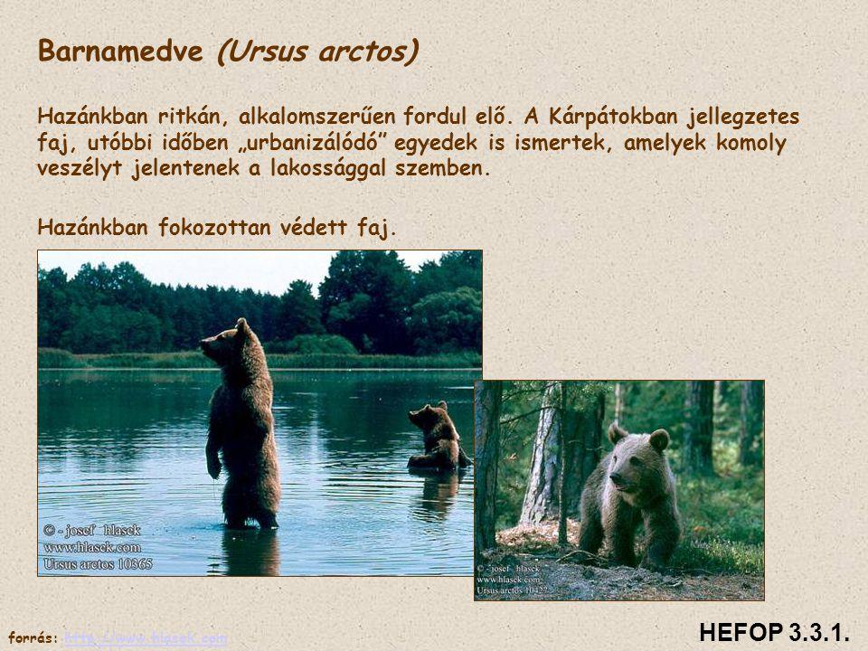 Család: Medvefélék Talpon járók, többségük mindenevő. Téli álom