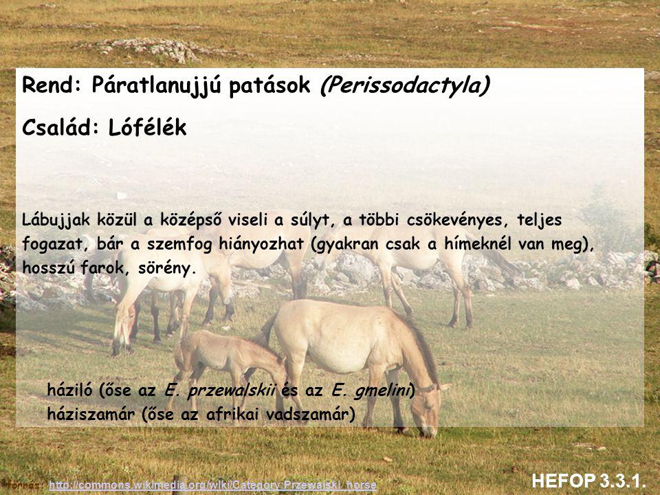 Rend: Páratlanujjú patások (Perissodactyla) Család: Lófélék