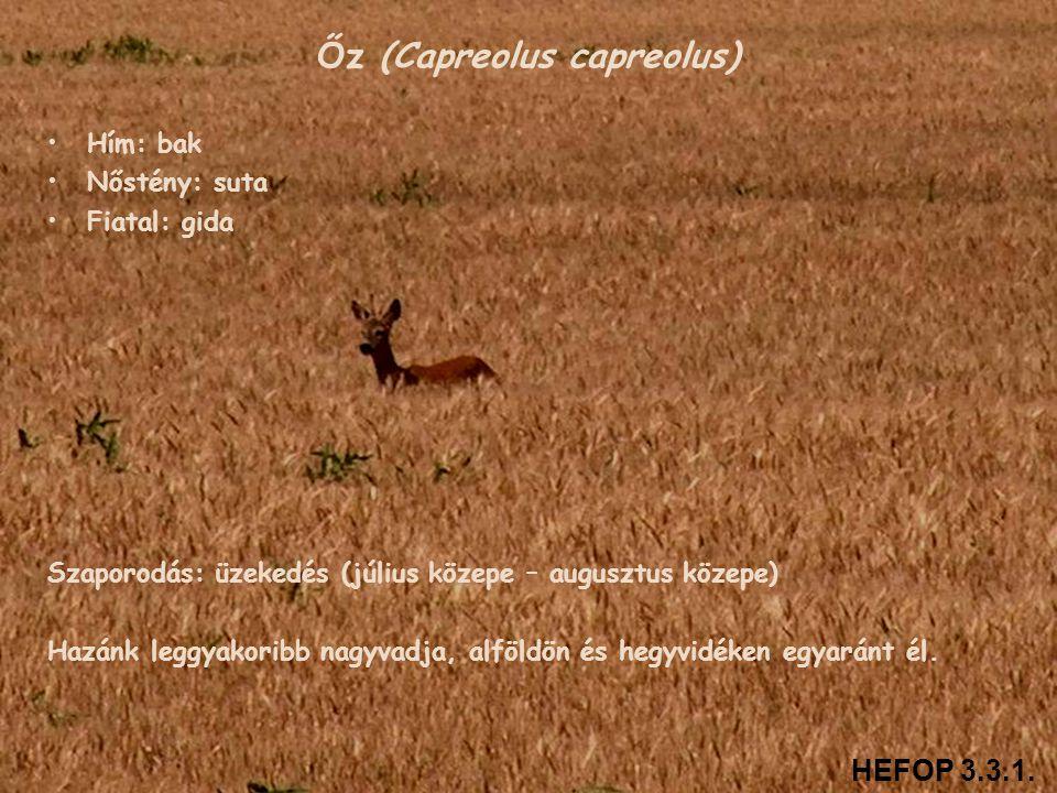 Őz (Capreolus capreolus)
