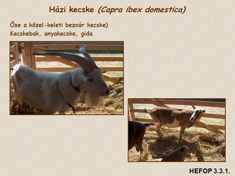 Házi kecske (Capra ibex domestica)