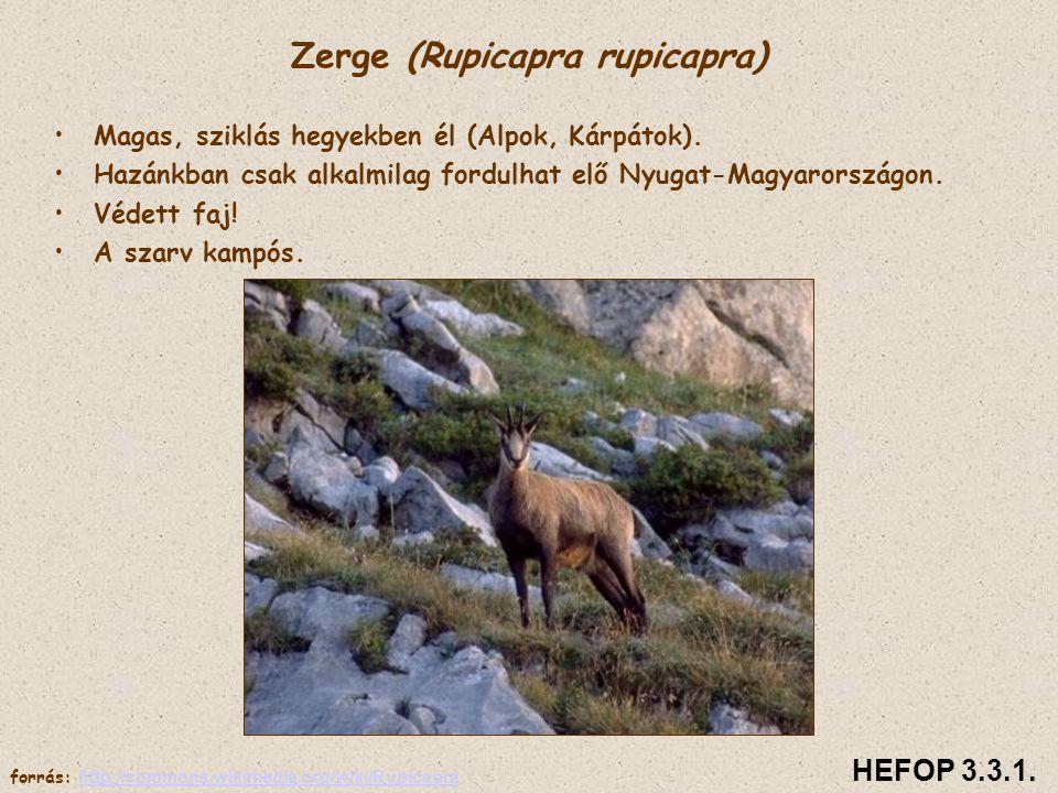Zerge (Rupicapra rupicapra)