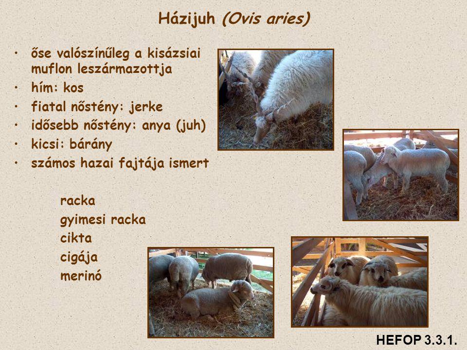 Házijuh (Ovis aries) őse valószínűleg a kisázsiai muflon leszármazottja. hím: kos. fiatal nőstény: jerke.