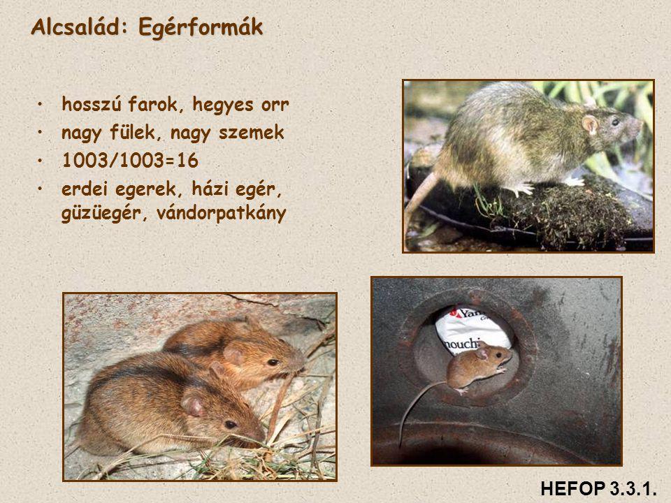Alcsalád: Egérformák hosszú farok, hegyes orr nagy fülek, nagy szemek