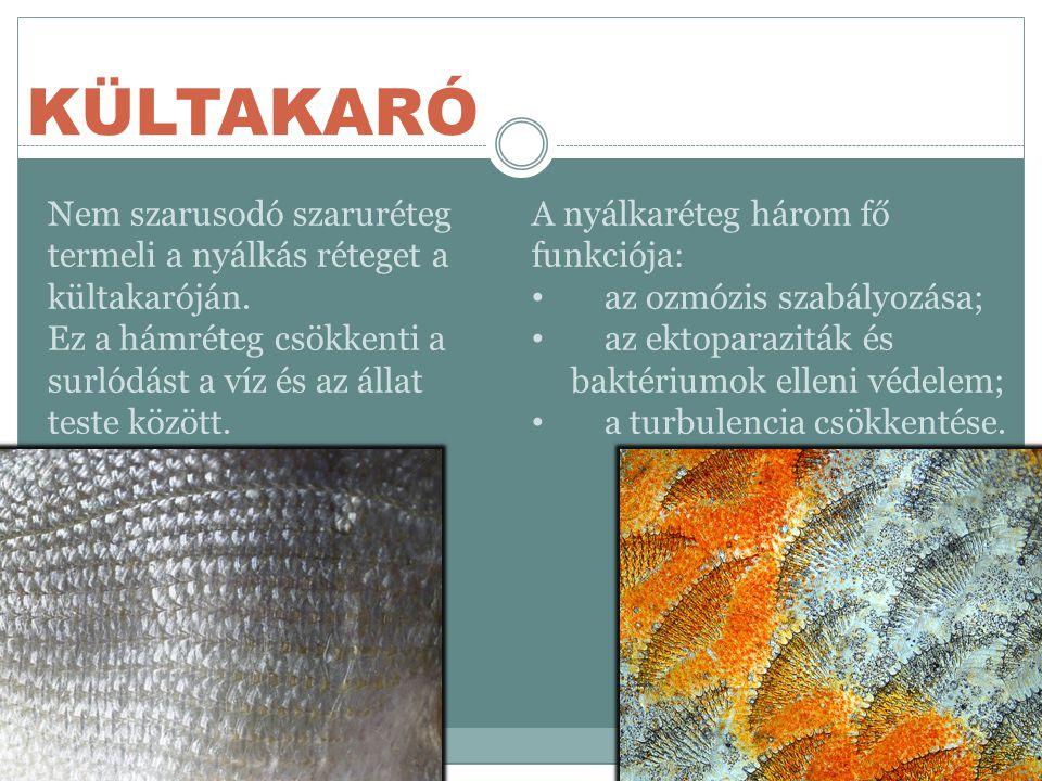 KÜLTAKARÓ Nem szarusodó szaruréteg termeli a nyálkás réteget a kültakaróján. Ez a hámréteg csökkenti a surlódást a víz és az állat teste között.