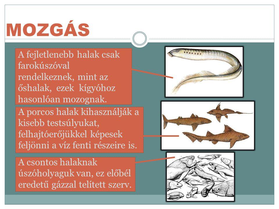 MOZGÁS A fejletlenebb halak csak farokúszóval rendelkeznek, mint az őshalak, ezek kígyóhoz hasonlóan mozognak.