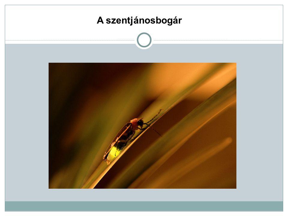 A szentjánosbogár