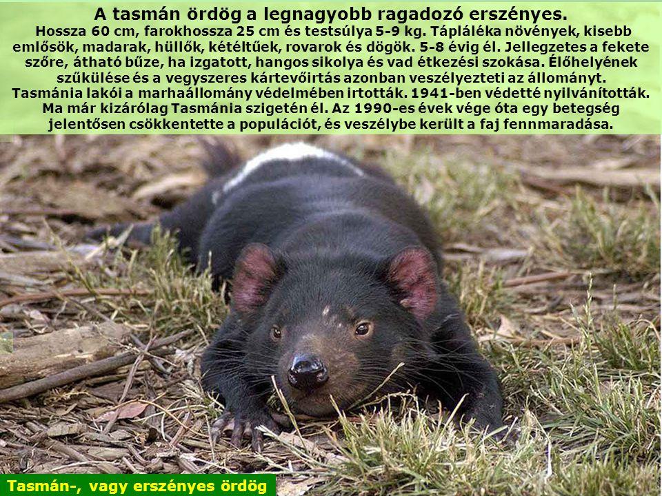 A tasmán ördög a legnagyobb ragadozó erszényes