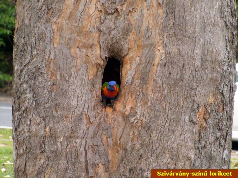 Szivárvány-színű lorikeet