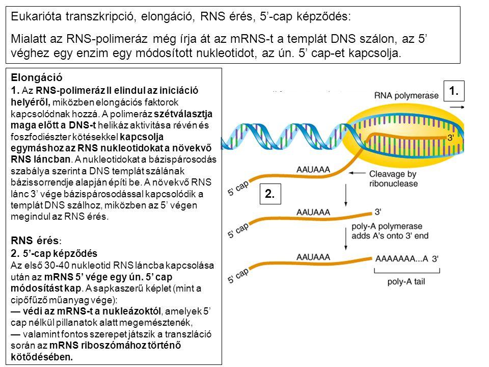 Eukarióta transzkripció, elongáció, RNS érés, 5'-cap képződés: