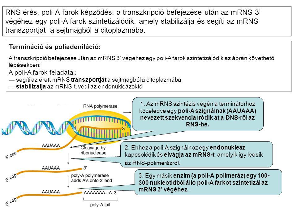RNS érés, poli-A farok képződés: a transzkripció befejezése után az mRNS 3' végéhez egy poli-A farok szintetizálódik, amely stabilizálja és segíti az mRNS transzportját a sejtmagból a citoplazmába.