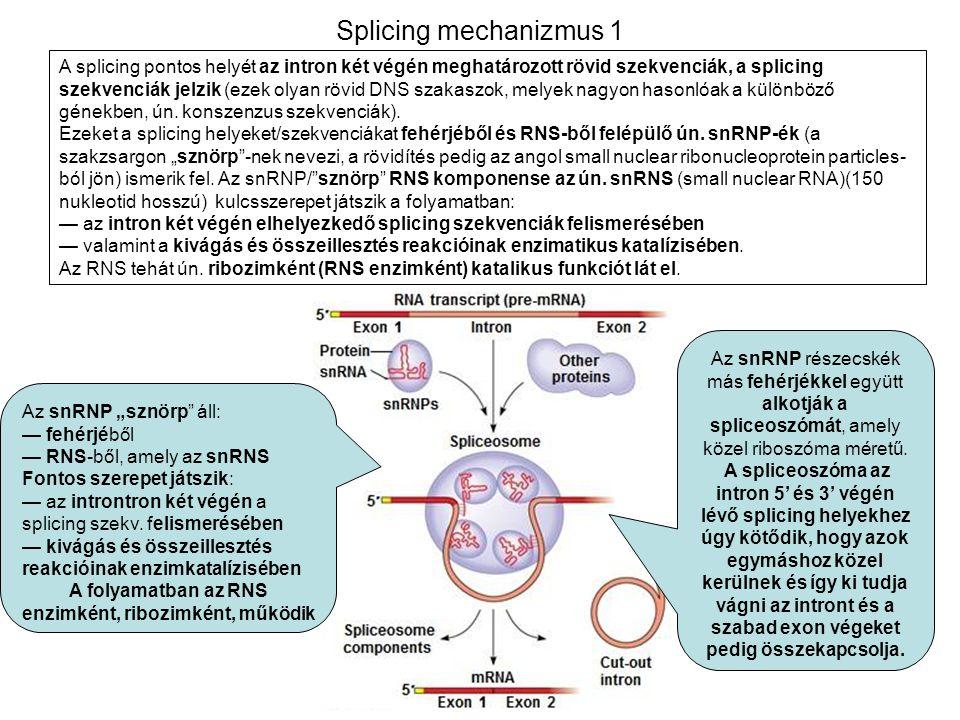 A folyamatban az RNS enzimként, ribozimként, működik