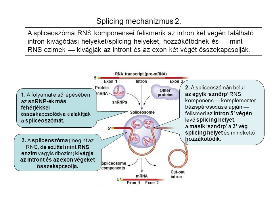Splicing mechanizmus 2.