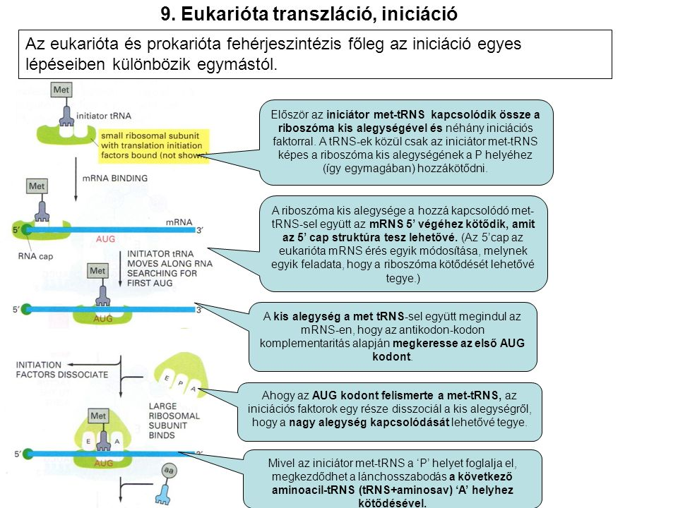 9. Eukarióta transzláció, iniciáció