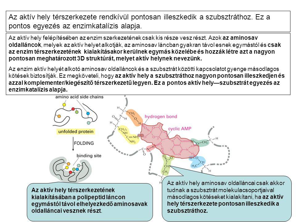 Az aktív hely térszerkezete rendkívül pontosan illeszkedik a szubsztráthoz. Ez a pontos egyezés az enzimkatalízis alapja.