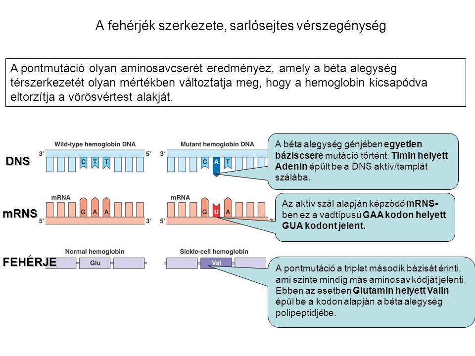 A fehérjék szerkezete, sarlósejtes vérszegénység