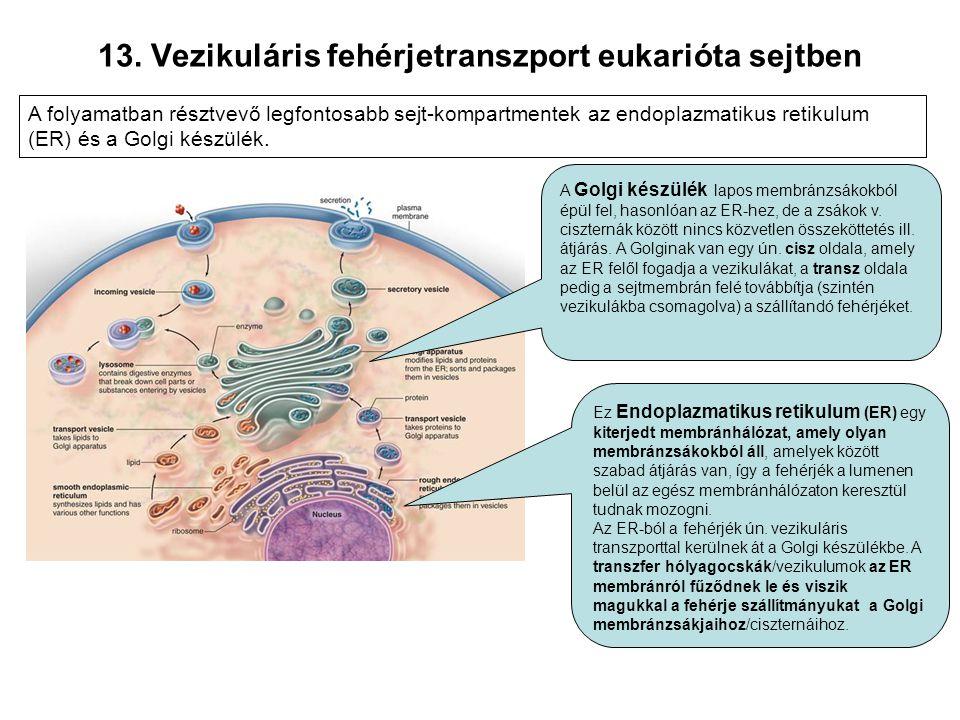 13. Vezikuláris fehérjetranszport eukarióta sejtben