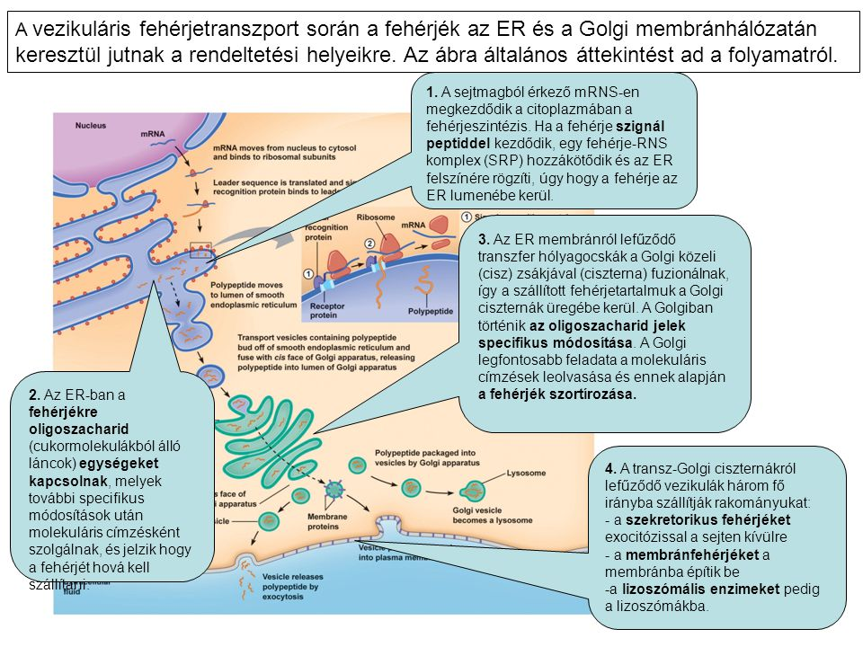 A vezikuláris fehérjetranszport során a fehérjék az ER és a Golgi membránhálózatán keresztül jutnak a rendeltetési helyeikre. Az ábra általános áttekintést ad a folyamatról.