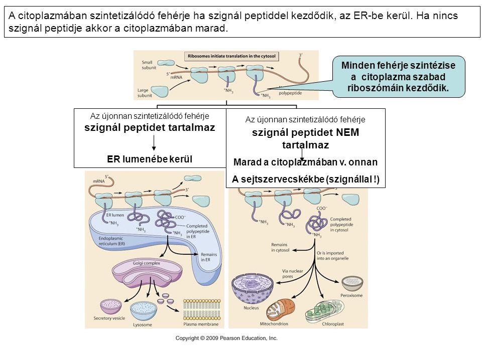 A citoplazmában szintetizálódó fehérje ha szignál peptiddel kezdődik, az ER-be kerül. Ha nincs szignál peptidje akkor a citoplazmában marad.
