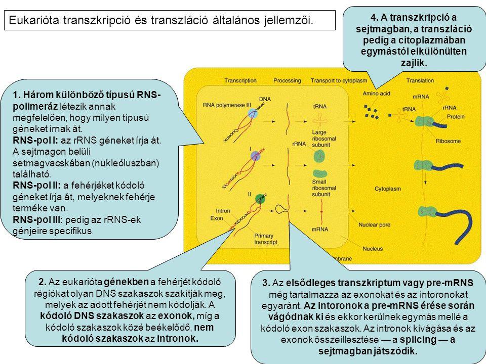 Eukarióta transzkripció és transzláció általános jellemzői.