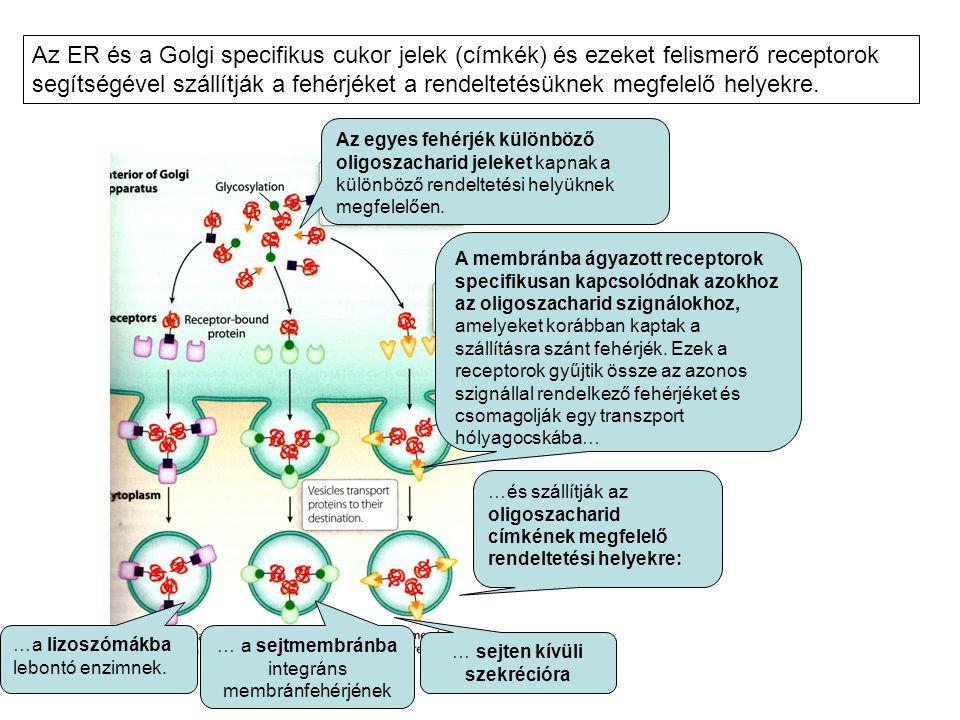 Az ER és a Golgi specifikus cukor jelek (címkék) és ezeket felismerő receptorok segítségével szállítják a fehérjéket a rendeltetésüknek megfelelő helyekre.