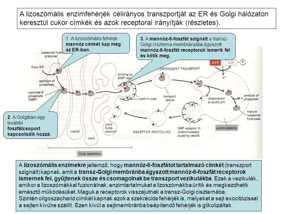 A lizoszómális enzimfehérjék célirányos transzportját az ER és Golgi hálózaton keresztül cukor címkék és azok receptorai irányítják (részletes).
