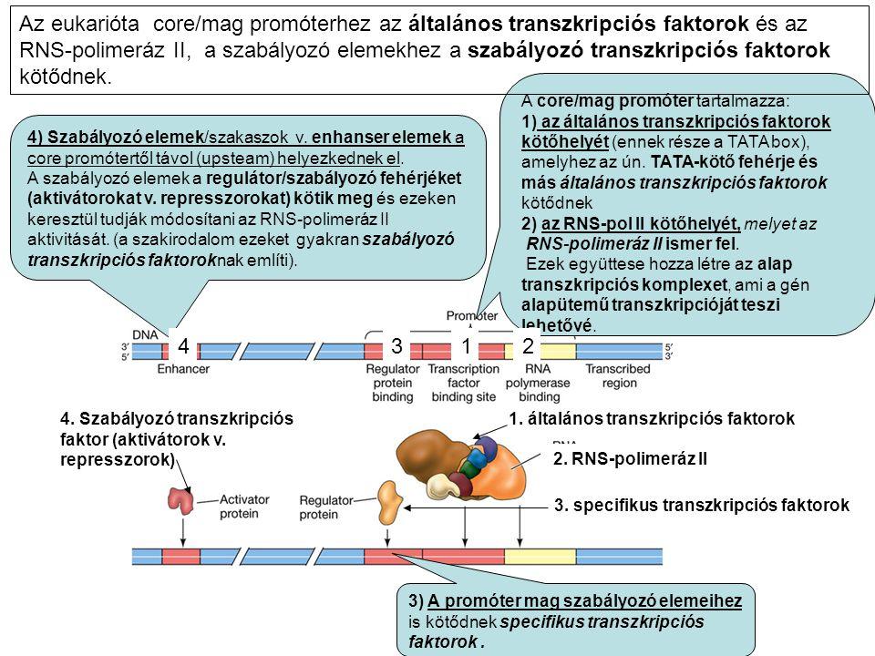 Az eukarióta core/mag promóterhez az általános transzkripciós faktorok és az RNS-polimeráz II, a szabályozó elemekhez a szabályozó transzkripciós faktorok kötődnek.