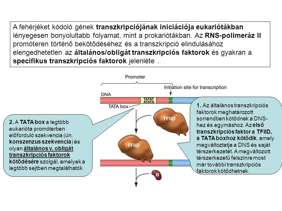 A fehérjéket kódoló gének transzkripciójának iniciációja eukariótákban lényegesen bonyolultabb folyamat, mint a prokariótákban. Az RNS-polimeráz II promóteren történő bekötődéséhez és a transzkripció elindulásához elengedhetetlen az általános/obligát transzkripciós faktorok és gyakran a specifikus transzkripciós faktorok jelenléte .