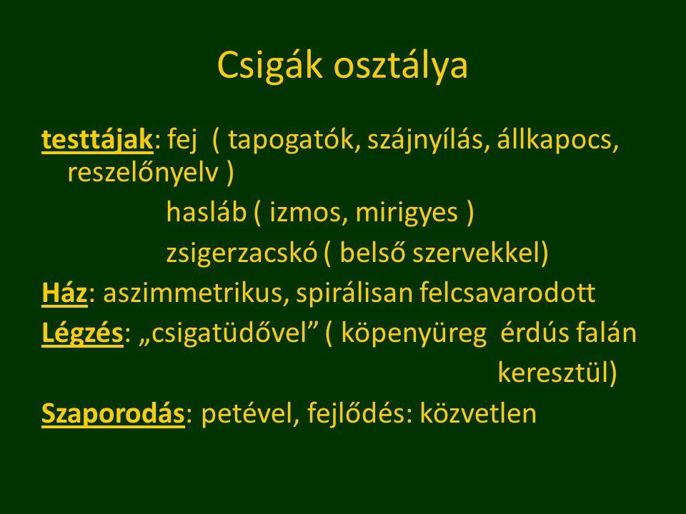Csigák osztálya testtájak: fej ( tapogatók, szájnyílás, állkapocs, reszelőnyelv ) hasláb ( izmos, mirigyes )