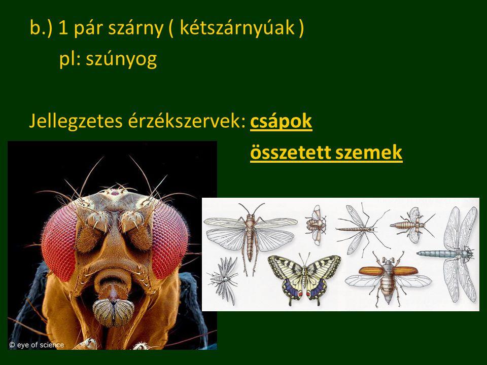 b.) 1 pár szárny ( kétszárnyúak ) pl: szúnyog Jellegzetes érzékszervek: csápok összetett szemek