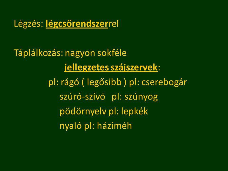 Légzés: légcsőrendszerrel Táplálkozás: nagyon sokféle jellegzetes szájszervek: pl: rágó ( legősibb ) pl: cserebogár szúró-szívó pl: szúnyog pödörnyelv pl: lepkék nyaló pl: háziméh