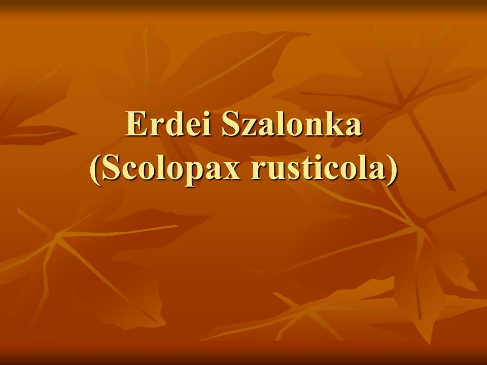 Erdei Szalonka (Scolopax rusticola)