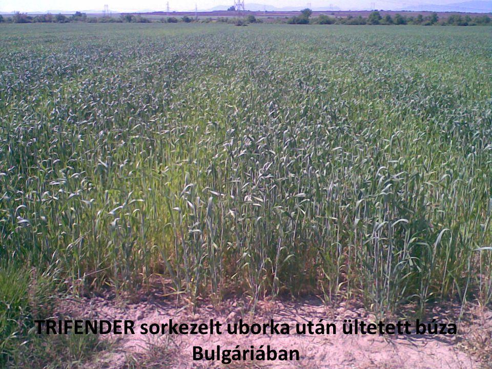 TRIFENDER sorkezelt uborka után ültetett búza Bulgáriában