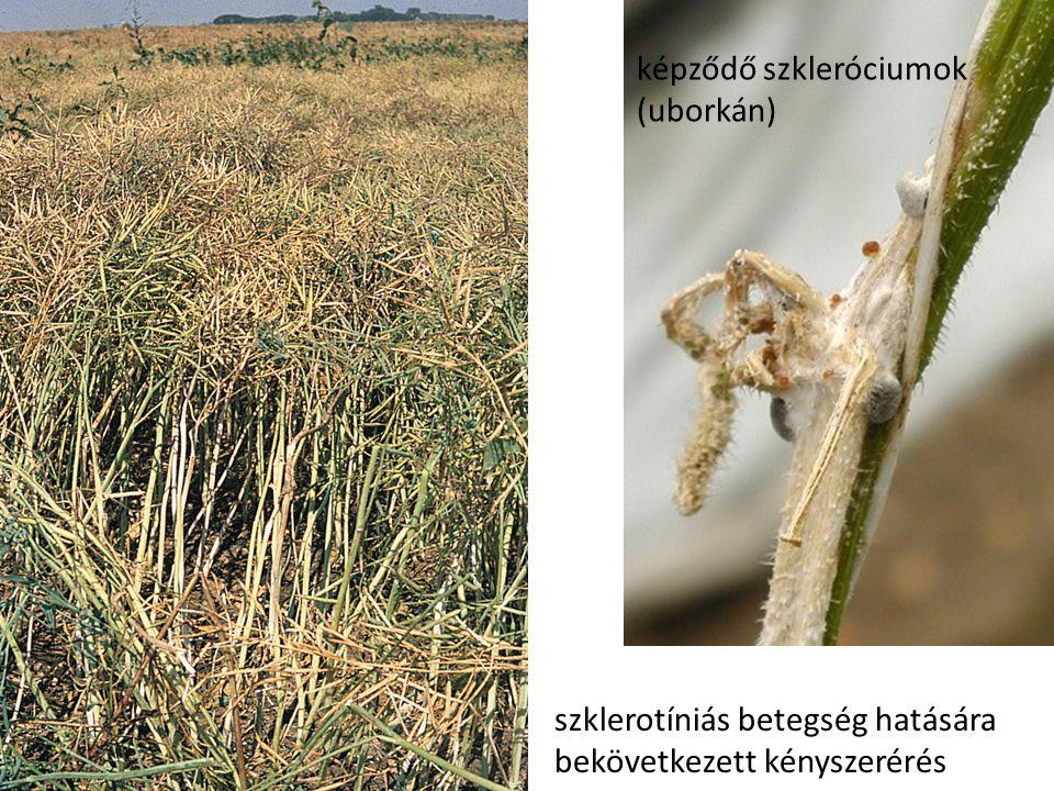 képződő szkleróciumok (uborkán)