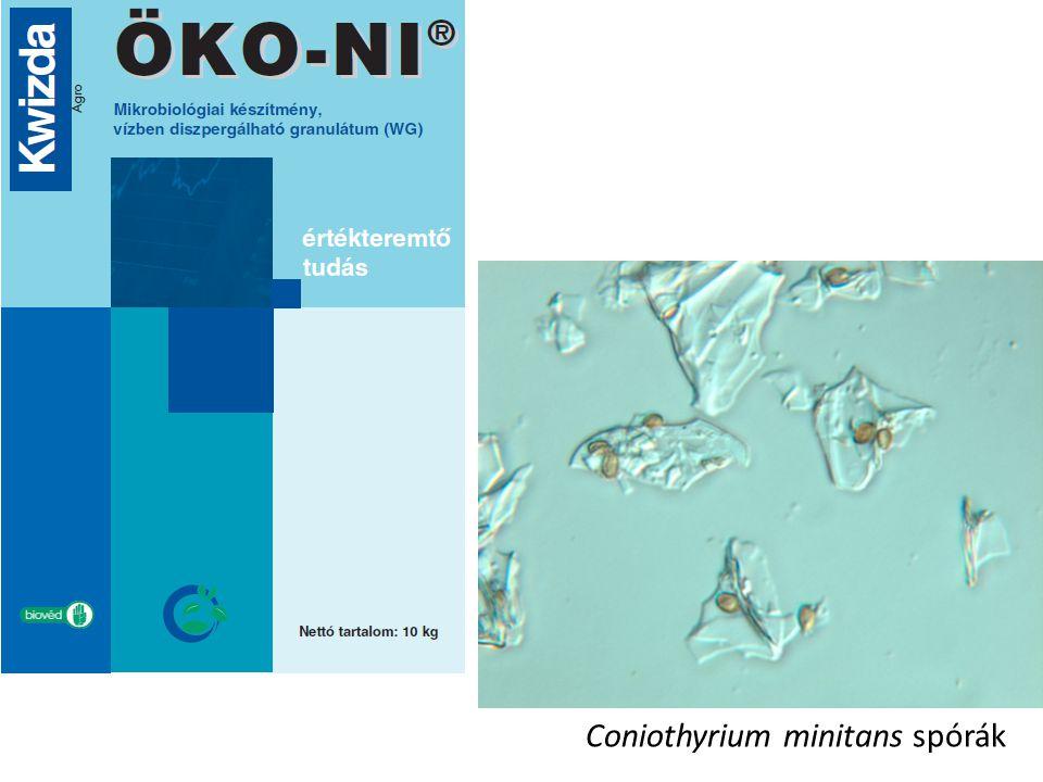 Coniothyrium minitans spórák