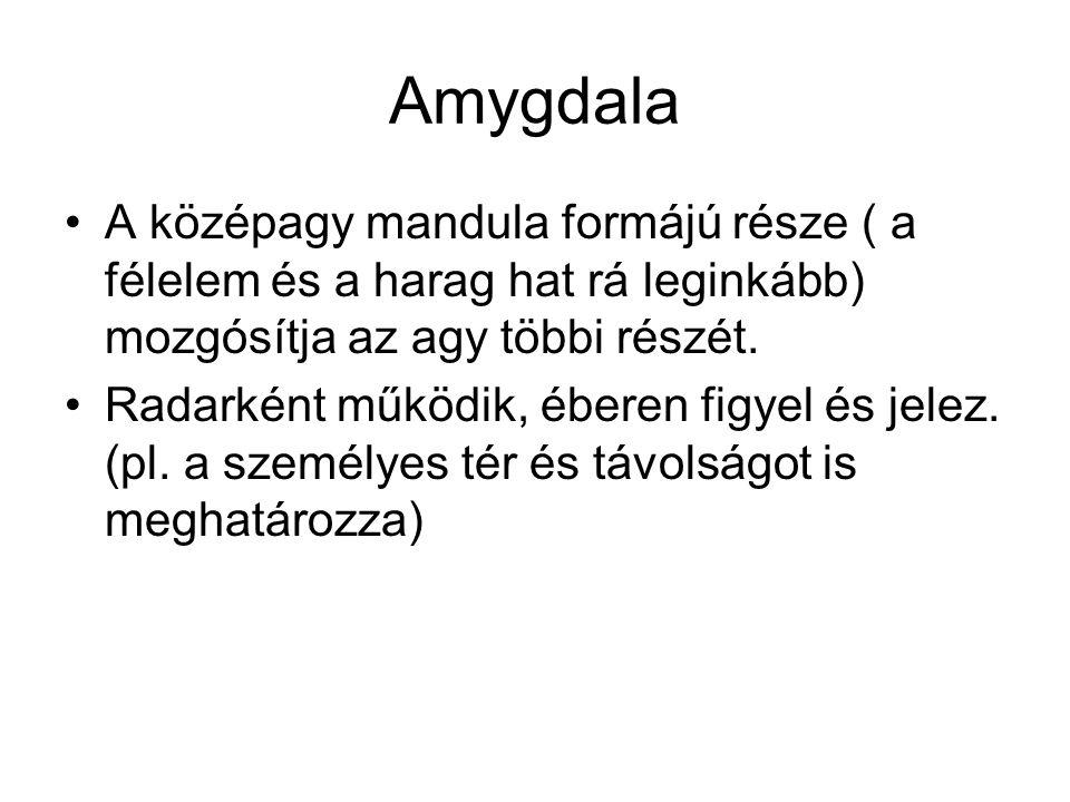 Amygdala A középagy mandula formájú része ( a félelem és a harag hat rá leginkább) mozgósítja az agy többi részét.