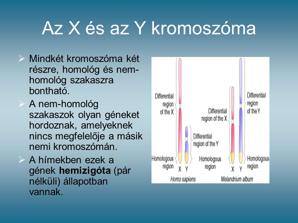 Az X és az Y kromoszóma Mindkét kromoszóma két részre, homológ és nem-homológ szakaszra bontható.