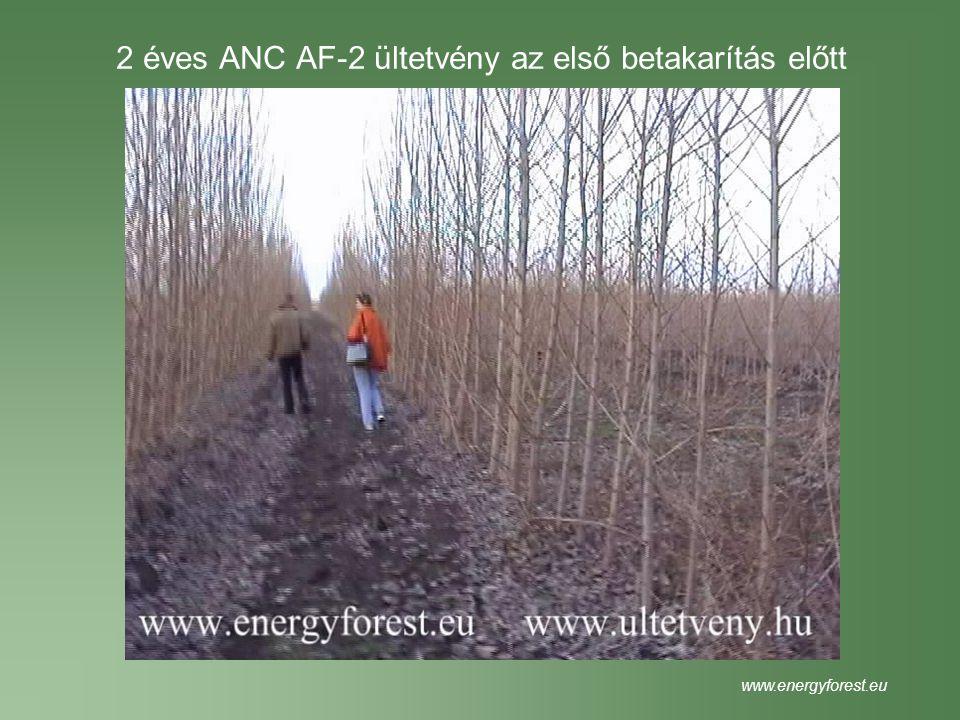 2 éves ANC AF-2 ültetvény az első betakarítás előtt
