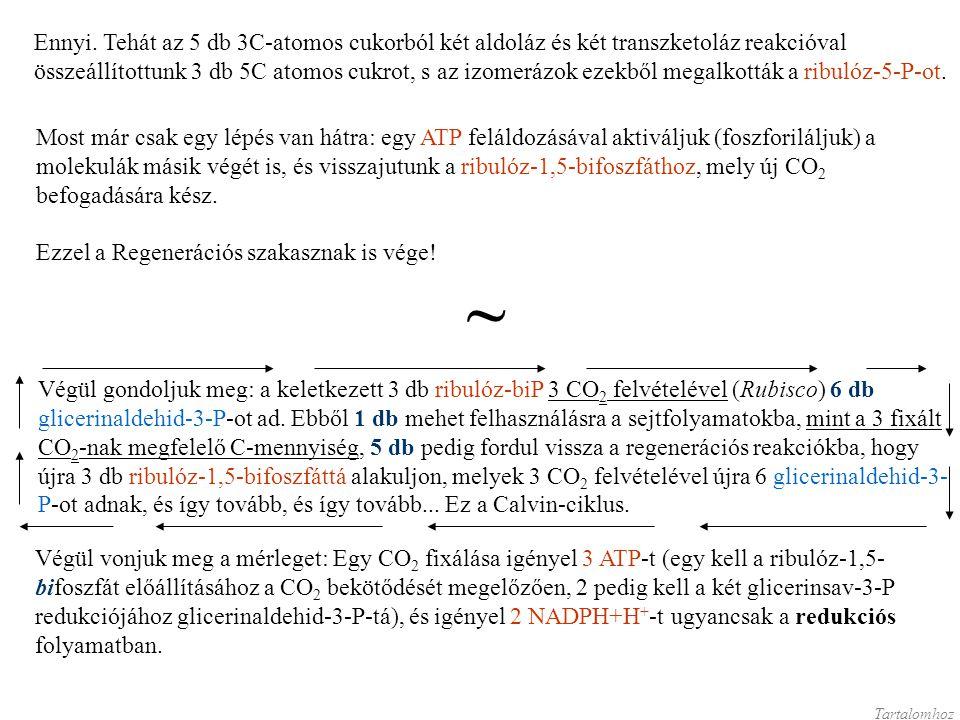 Ennyi. Tehát az 5 db 3C-atomos cukorból két aldoláz és két transzketoláz reakcióval összeállítottunk 3 db 5C atomos cukrot, s az izomerázok ezekből megalkották a ribulóz-5-P-ot.
