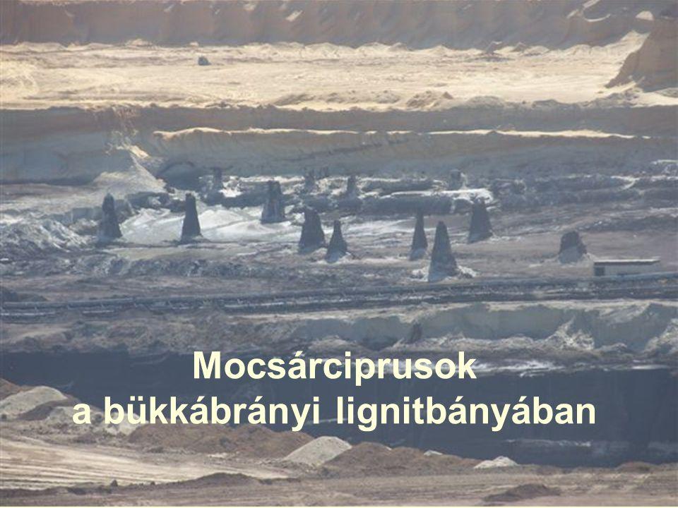 Mocsárciprusok a bükkábrányi lignitbányában
