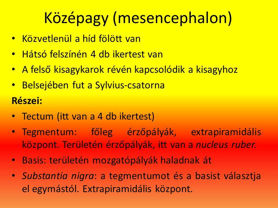 Középagy (mesencephalon)