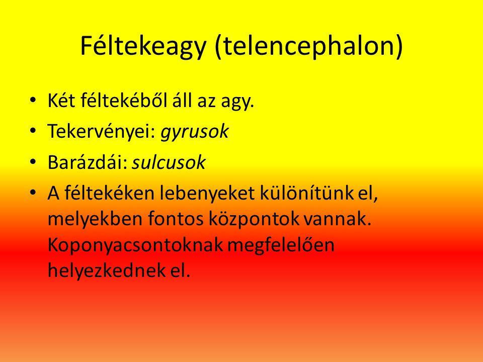 Féltekeagy (telencephalon)