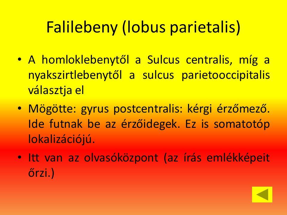 Falilebeny (lobus parietalis)