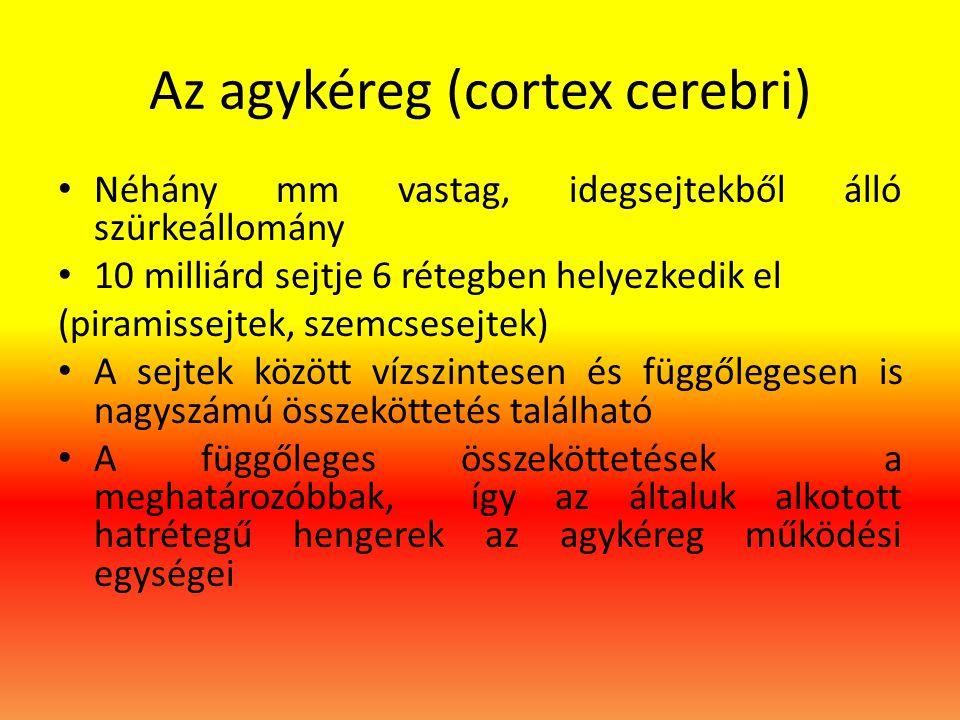 Az agykéreg (cortex cerebri)