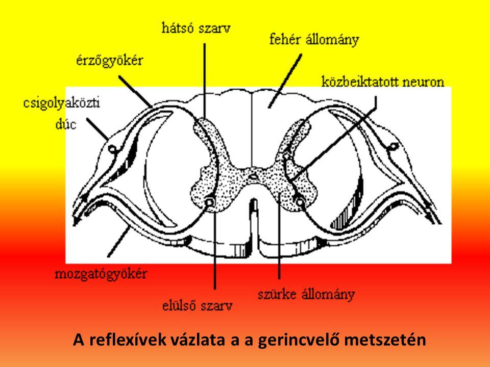 A reflexívek vázlata a a gerincvelő metszetén