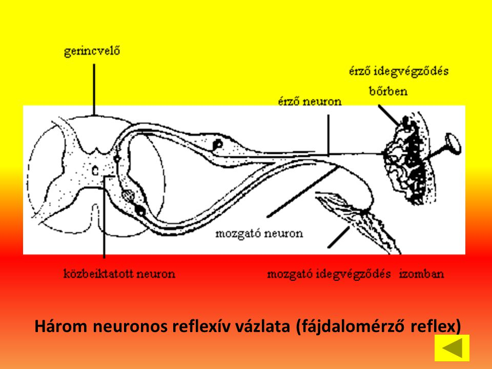 Három neuronos reflexív vázlata (fájdalomérző reflex)