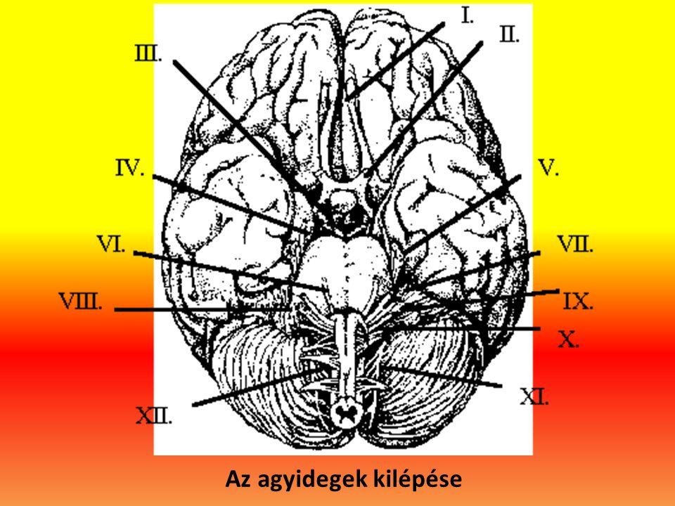 Az agyidegek kilépése