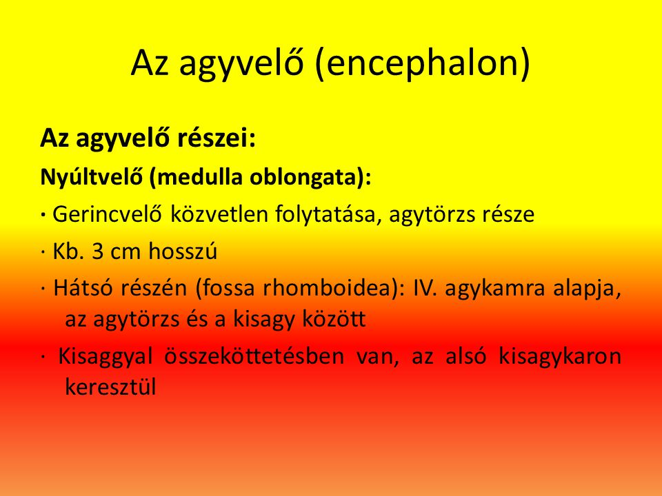 Az agyvelő (encephalon)