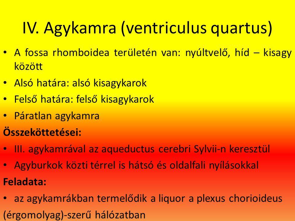 IV. Agykamra (ventriculus quartus)