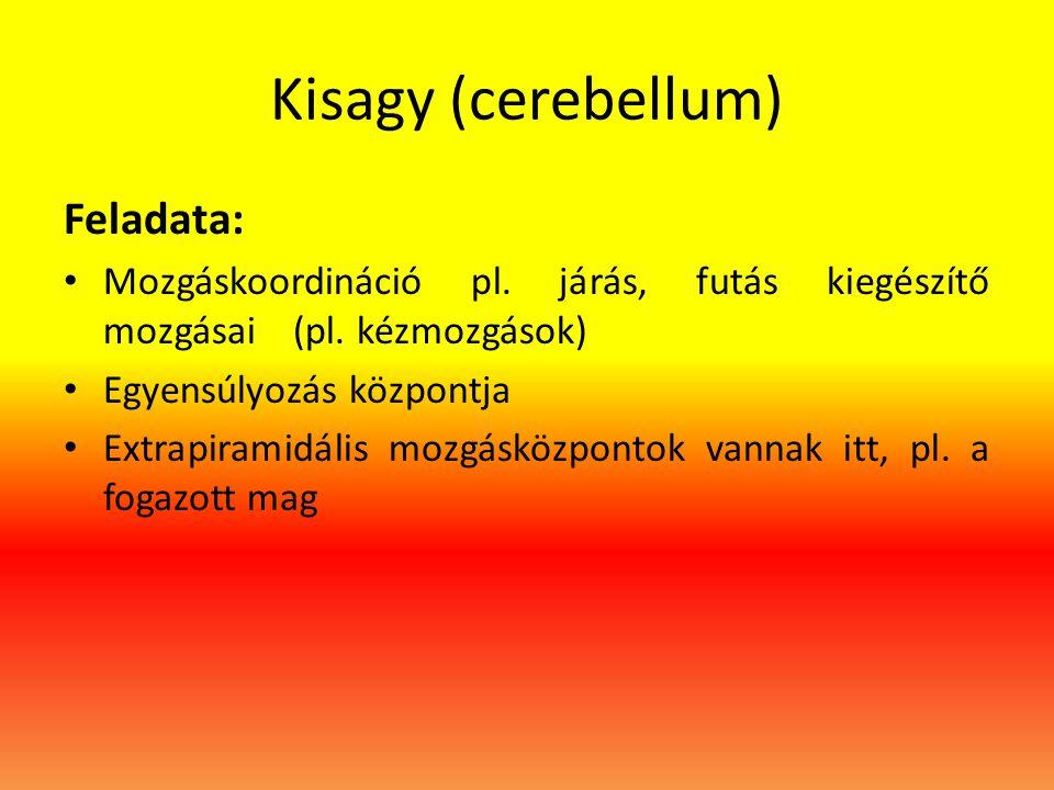 Kisagy (cerebellum) Feladata: