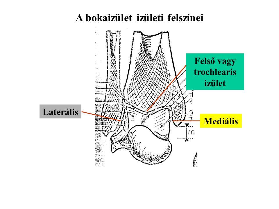 A bokaizület izületi felszínei Felső vagy trochlearis